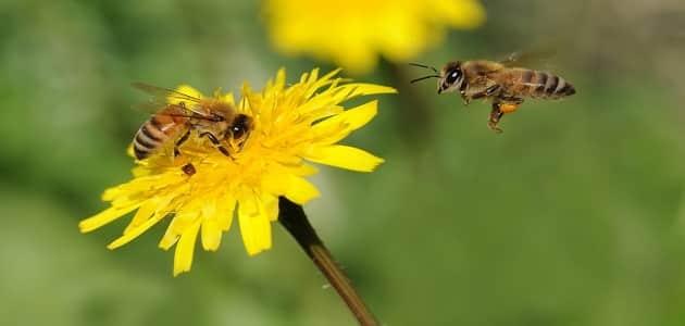 بحث كامل عن النحل وفوائده للانسان