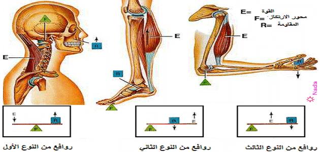 بحث عن انواع الروافع فى جسم الإنسان وأهميتها