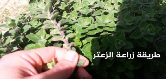 اسهل طريقة زراعة الزعتر فى المنزل بأقل التكاليف