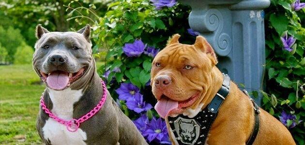اهم المعلومات عن مميزات وعيوب تربية كلاب البيتبول