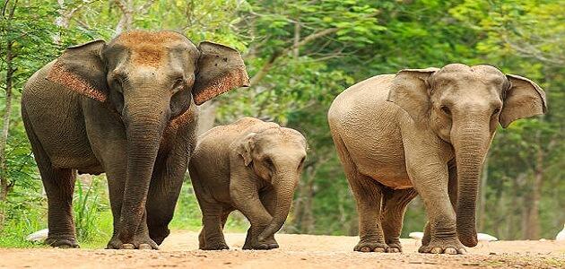 معلومات غريبة عن وزن وصفات الفيل الافريقي والاسيوي