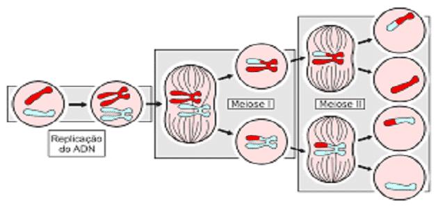مراحل الانقسام المتساوي في الخلية النباتية