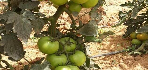 أهم المحاصيل الزراعية في مصر الأكثر ربحًا