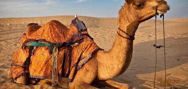 بحث عن الجمل سفينة الصحراء