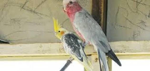بحث عن طائر الكوكتيل وكيفية التعامل معه